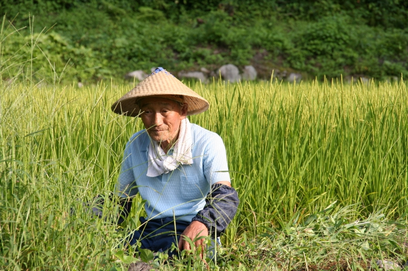 Old man working in a rice field